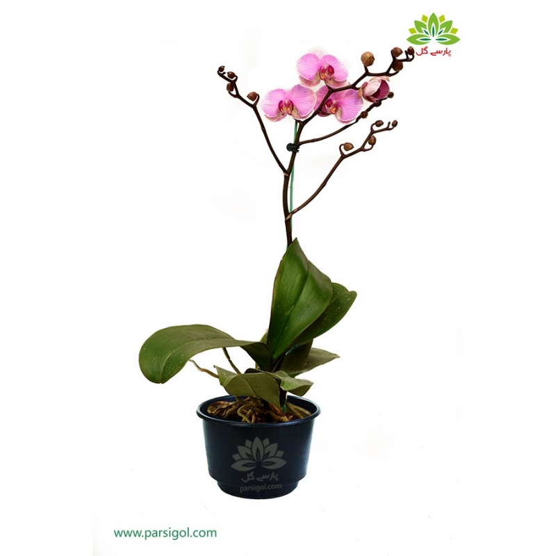 گیاه آپارتمانی ارکیده گلدانی