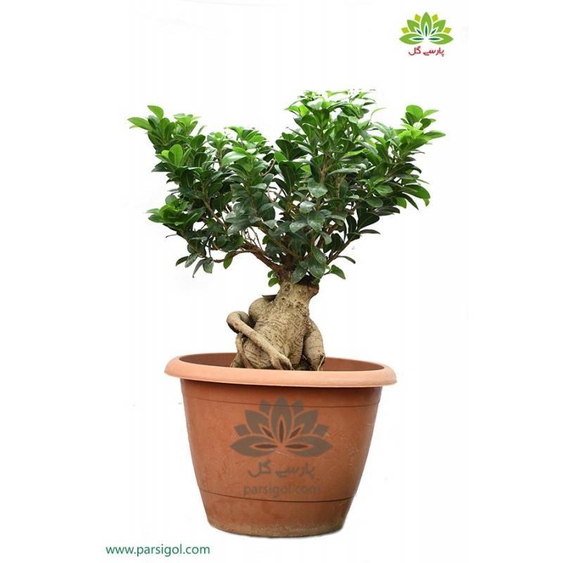 بن سای بزرگ درختچه زینتی کد BB014