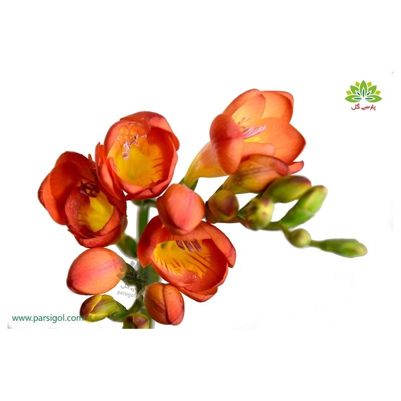 گل شاخه بریده فرزیا(فرسی) نارنجی