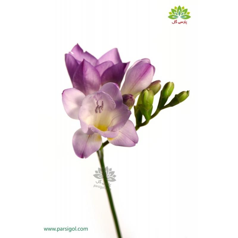 گل شاخه بریده فرزیا(فرسی)