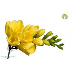 گل شاخه بریده فریزیا (فرسی) زرد