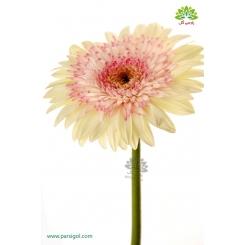 گل شاخه بریده ژربرا سفید صورتی