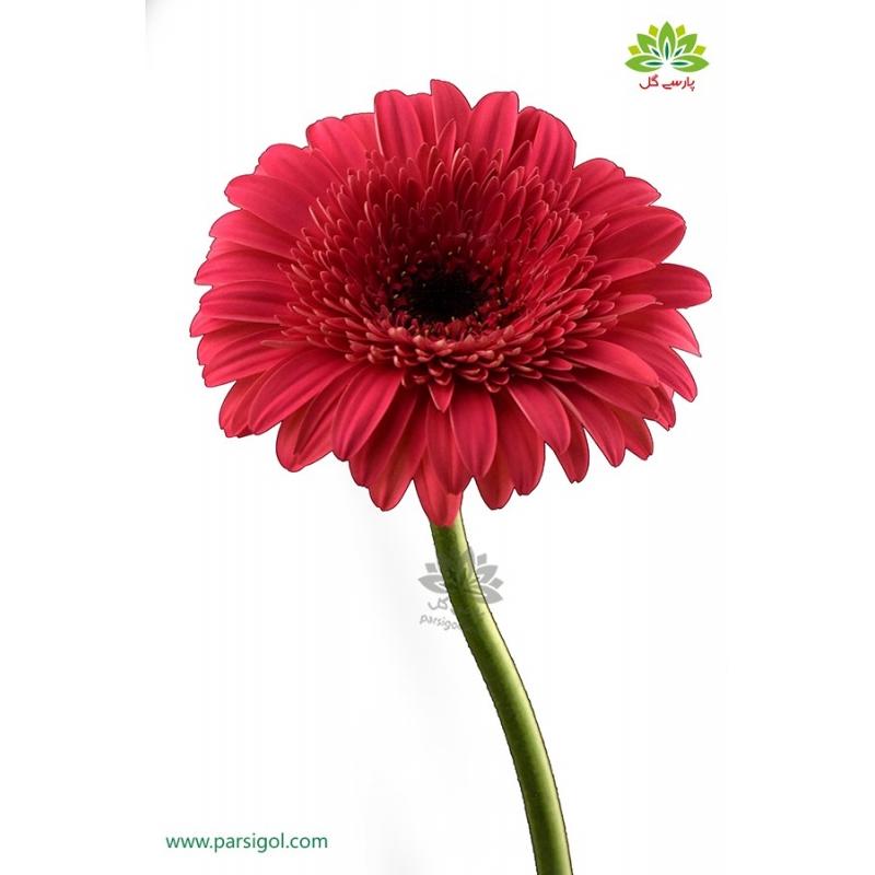 گل شاخه بریده ژربرا سرخابی
