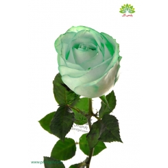 گل شاخه بریده رز سبز