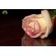 گل شاخه بریده رز سفید لب صورتی