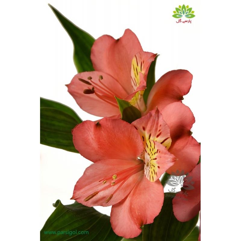 گل شاخه بریده آلسترومریا گل اناری