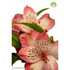 دسته گل آلسترومریا گلبهی