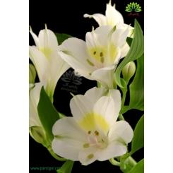 دسته گل آلسترومریا سفید
