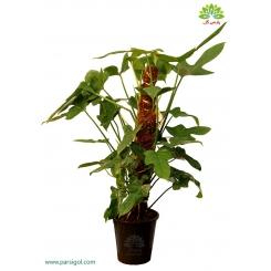 گیاه آپارتمانی فیلودندرون (برگ ویولونی)