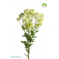 گل شاخه بریده کرزنتی سفید