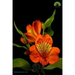 گل شاخه بریده آلسترومریا نارنجی زرد