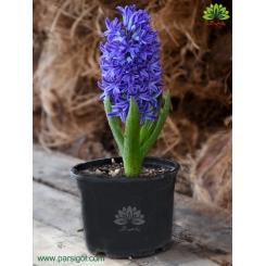 گیاه سنبل گلدانی