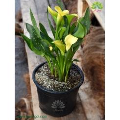 شیپوری گلدانی