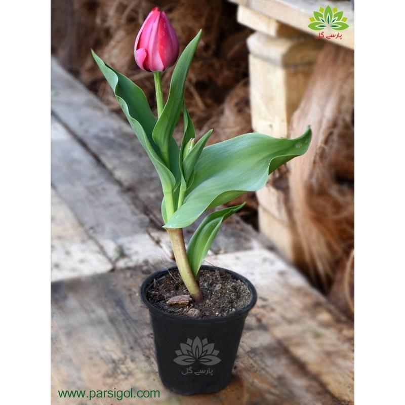 گیاه لاله گلدانی