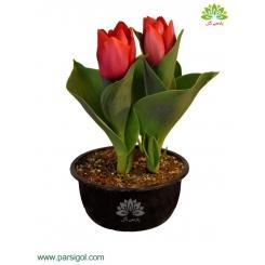 گیاه لاله گلدانی (دو شاخه)