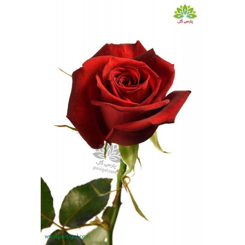 گل شاخه بریده رز قرمز