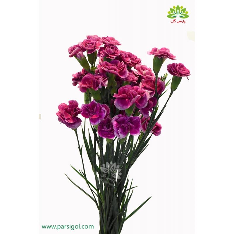 گل شاخه بریده میخک بنفش