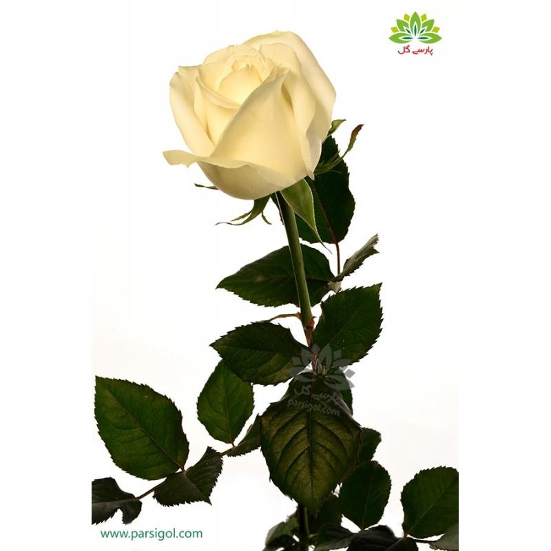 گل شاخه بریده رز کرمی