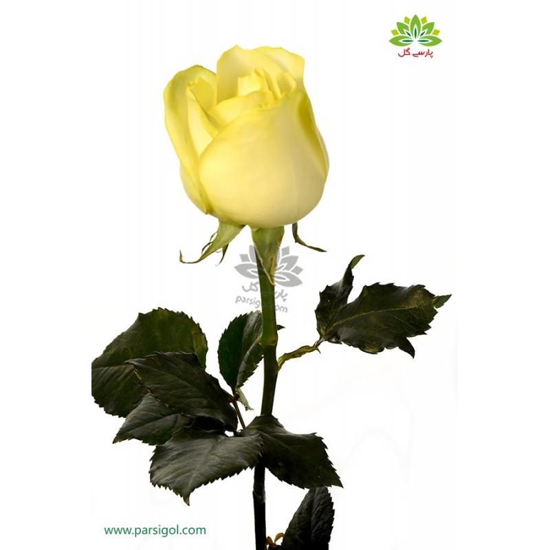 گل شاخه بریده رز زرد