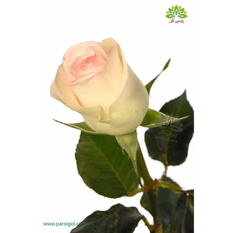 گل شاخه بریده رز سفید صورتی