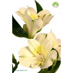 گل شاخه بریده آلسترومریا سفید