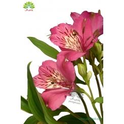 گل شاخه بریده آلسترومریا صورتی