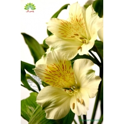 گل شاخه بریده آلسترومریا سفید و زرد