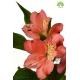گل شاخه بریده آلسترومریا اناری