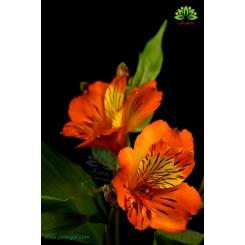 گل شاخه بریده آلسترومریا نارنجی و زرد