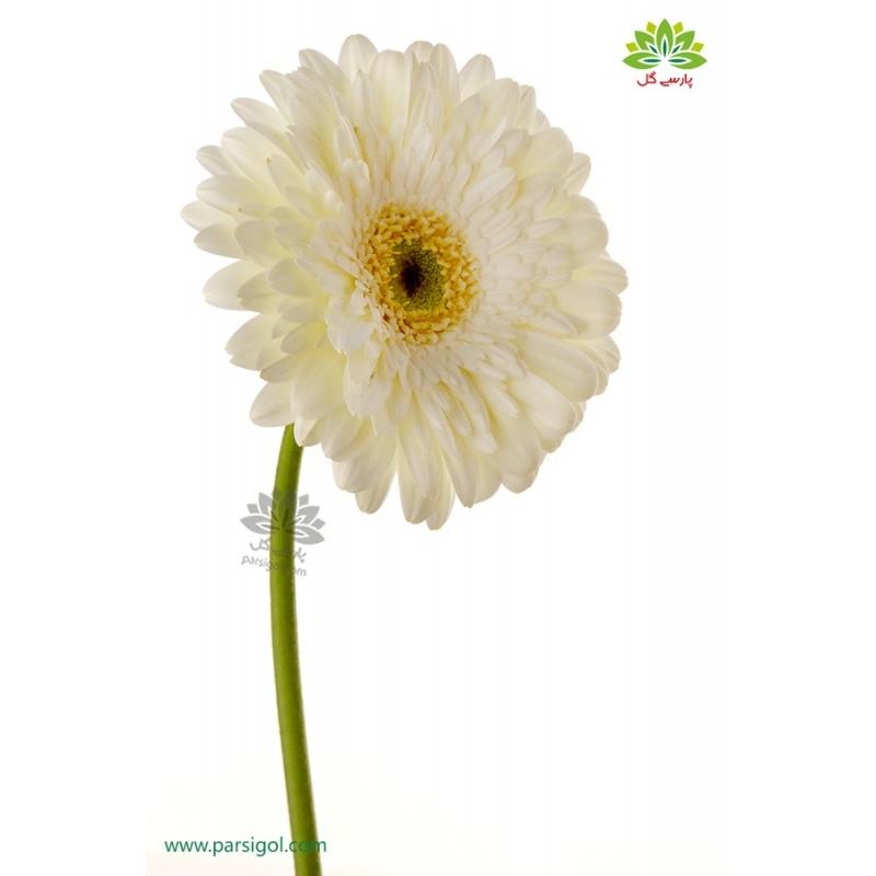 گل شاخه بریده ژربرا سفید