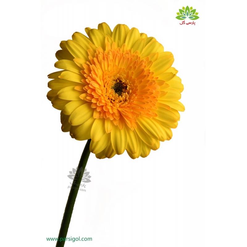 گل شاخه بریده ژربرا زرد و نارنجی