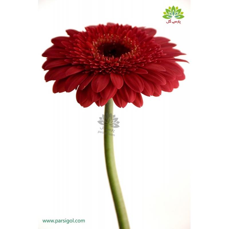 گل شاخه بریده ژربرا قرمز