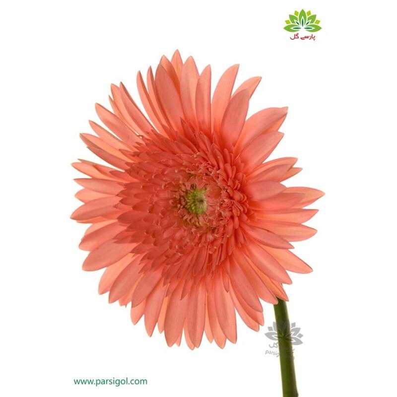 گل شاخه بریده ژربرا گلبهی