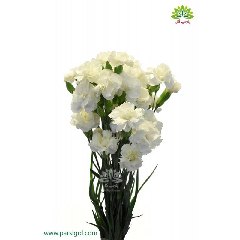 گل شاخه بریده میخک سفید