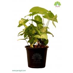 گیاه آپارتمانی سینگونیوم (پنجه غازی)