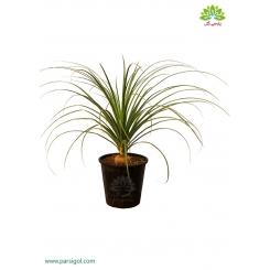 گیاه آپارتمانی لیندا (پافیلی)