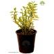 گیاه آپارتمانی پدیلانتوس
