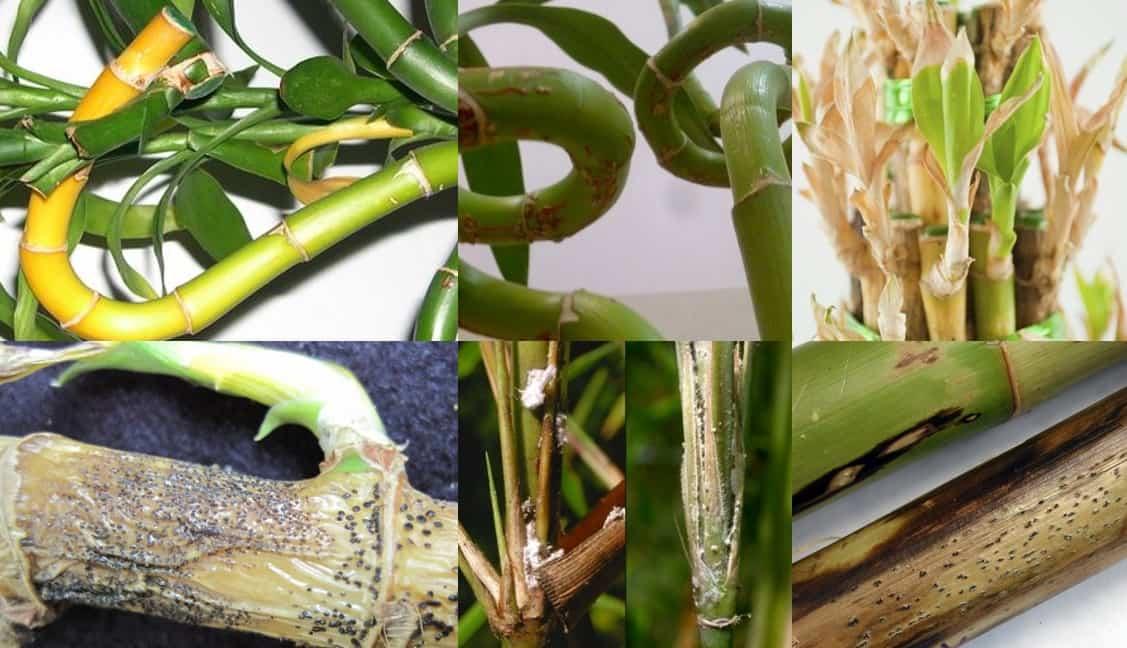 درمان بیماری بامبو، روش درمان آفت بامبو