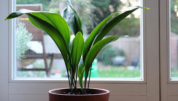 گیاهان آپارتمانی عبایی