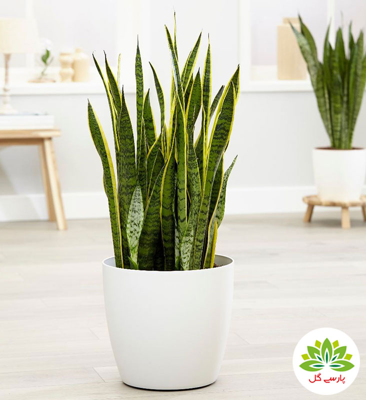 گیاه گلدانی سانسوریا ابلق، سفارش اینترنتی گل سانسوریا با گلدان سرامیکی، قیمت گیاه سانسوریا