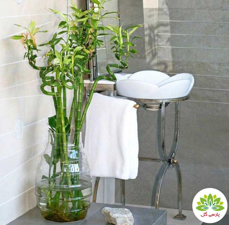 انواع گیاه بامبو مخصوص سرویس بهداشتی و انواع لاکی بامبو ویژه حمام و دستشویی