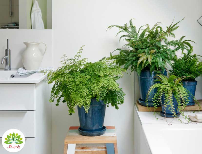 گل آپارتمانی سرخس مناسب برای سرویس بهداشتی و حمام و دستشویی