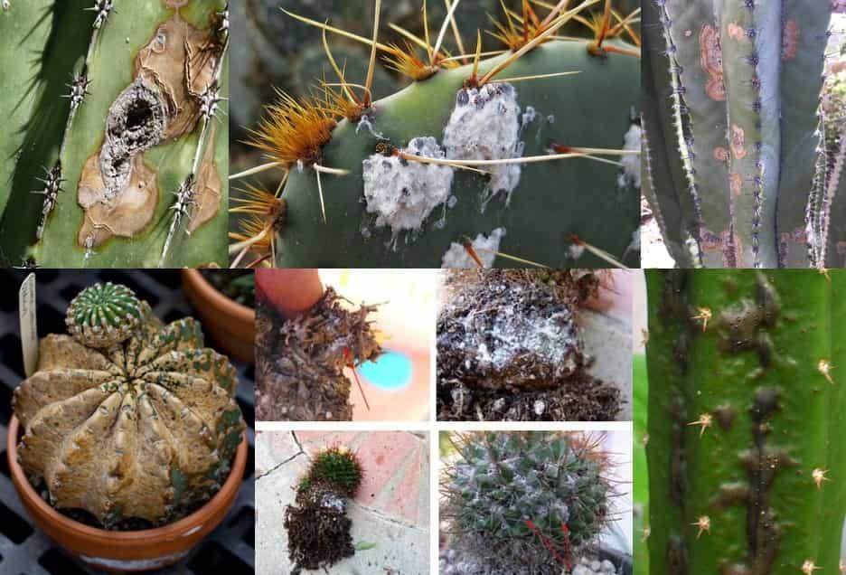 درمان بیماری کاکتوس و آموزش نگهداری از کاکتوس در فروشگاه پارسی گل