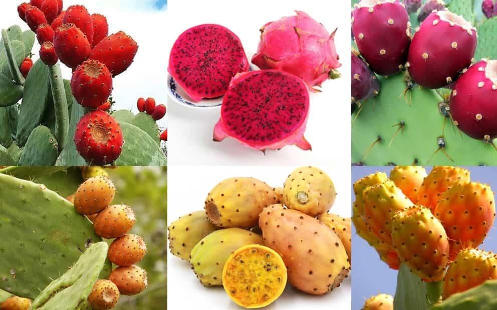 خرید اینترنتی انواع کاکتوس خوراکی و انواع کاکتوس زینتی در پارسی گل