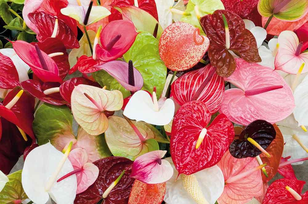 گل آنتوریوم، خرید گل آنتوریوم، قیمت دسته گل آنتوریوم ارزان