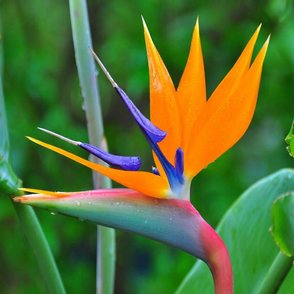 گل استرلیتزیا، خرید گل طبیعی ارزان، گل پرنده بهشتی