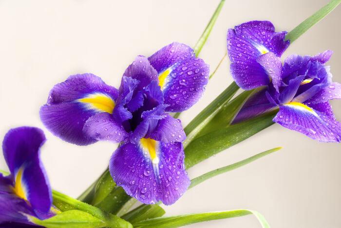 خرید گل و قیمت گل طبیعی ارزان، فروش گل زنبق ارزان