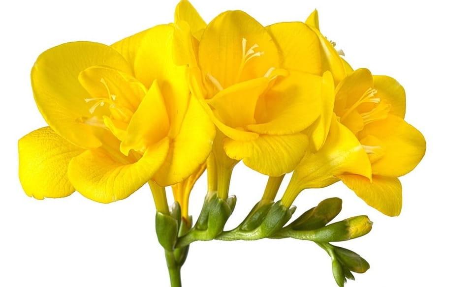 فروش اینترنتی گل فرزیا، خرید گل فرزیا و قیمت دسته گل فرزیا