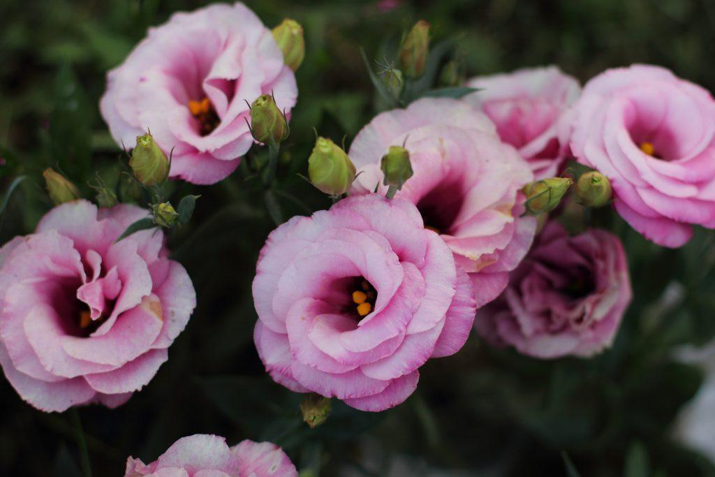 دسته گل لیسیانتوس، قیمت گل لیسیانتوس، سفارش اینترنتی دسته گل لیسیانتوس ممتاز و درجه یک