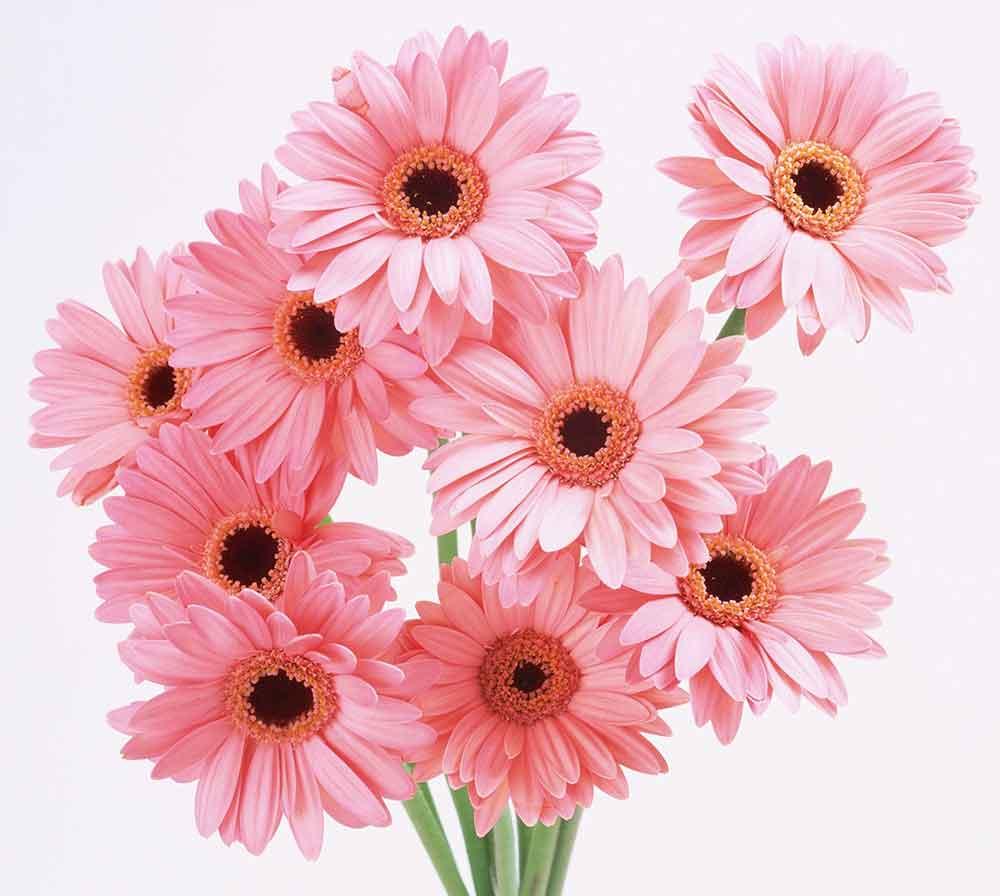 فروش گل ژربرا، خرید گل ژربرا ارزان، قیمت گل ژربرا